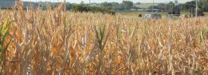 drought_corn