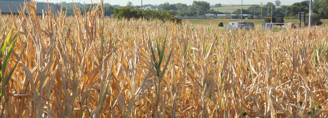 drought_corn