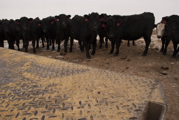mitch_Paine_cattle