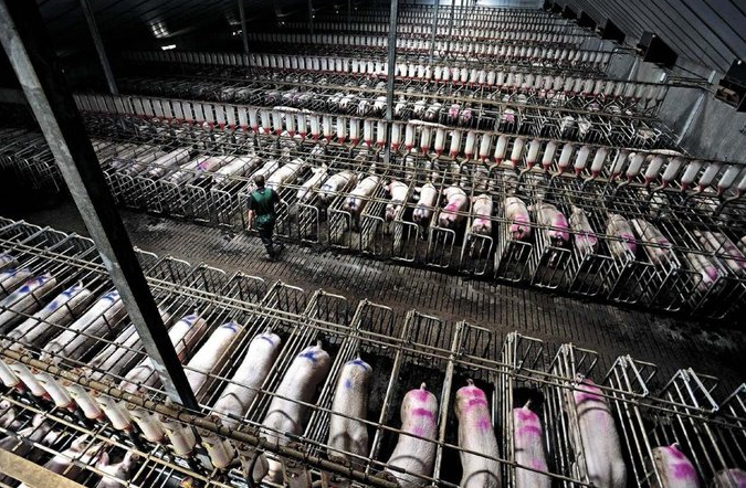 Sows confined in gestation crates, a common practice of confined animal feeding operations (CAFO's).