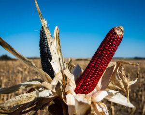 ponca_blue_red_corn