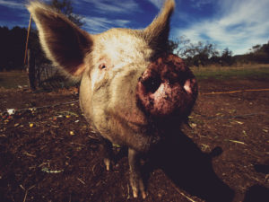 BoldNE_Share-CorporatePigsPhoto